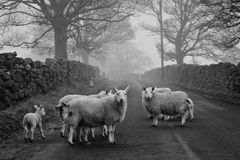 Moutons sur la route - North Yorkshire Photo libre de droits