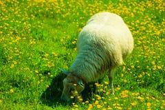Moutons sur le beau pré de montagne en Norvège Photographie stock libre de droits