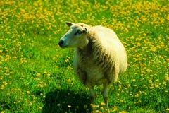 Moutons sur le beau pré de montagne en Norvège Images stock
