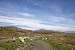 Moutons sur le bord de la route Images libres de droits