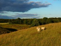 Moutons sur le champ Photo stock