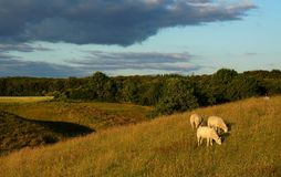 Moutons sur le champ Photographie stock