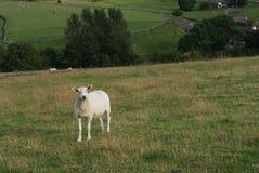 Moutons sur le champ image stock