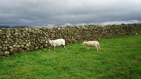 Moutons sur le champ d'herbe Photo stock