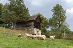 Moutons sur le fileld, Pologne Images libres de droits