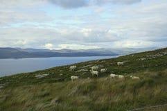 Moutons sur le flanc de coteau Image libre de droits