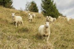 Moutons sur le flanc de coteau photographie stock