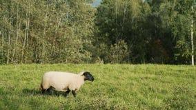 Moutons sur le flanc de coteau dans la marche de coucher du soleil clips vidéos