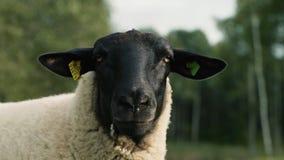Moutons sur le flanc de coteau dans la position de coucher du soleil clips vidéos