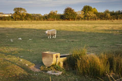 Moutons sur le marais Photo stock