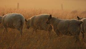 Moutons sur le mouvement Image libre de droits