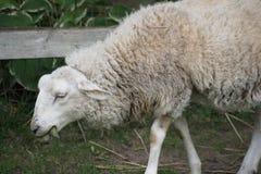 Moutons sur le mouvement Photo libre de droits