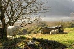 Moutons sur le mur un matin brumeux en Irlande Photographie stock