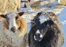 Moutons sur le musée en plein air Hägnan dans Gammelstad Image stock