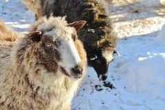 Moutons sur le musée en plein air Hägnan dans Gammelstad Photos libres de droits