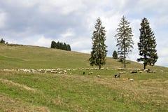 Moutons sur le pâturage Photographie stock