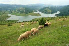 Moutons sur le pâturage Photos libres de droits