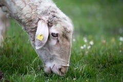 Moutons sur le pâturage Image libre de droits