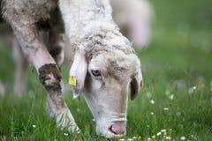 Moutons sur le pâturage Images stock