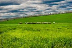Moutons sur le pâturage Images libres de droits