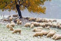 Moutons sur le pâturage d'automne Image libre de droits