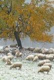 Moutons sur le pâturage d'automne Photos libres de droits