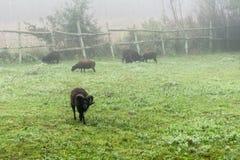 Moutons sur le pâturage dans le morningdust Photos stock