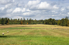 Moutons sur le pairie Photo libre de droits