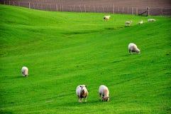 Moutons sur le pré Images stock