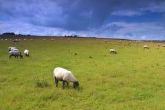 Moutons sur le pré Photographie stock libre de droits