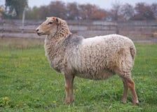 Moutons sur le pré Photo libre de droits