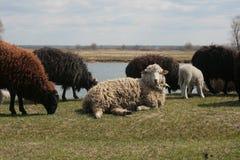 Moutons sur le pré image stock