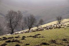Moutons sur le pré Images libres de droits