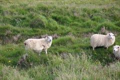 Moutons sur le pré Image libre de droits