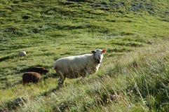 Moutons sur le pré dans les Alpes en Suisse Images libres de droits