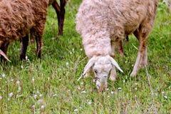 Moutons sur le pré vert Photos libres de droits