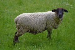Moutons sur le pré avec l'herbe verte Photographie stock