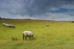 Moutons sur le pré dans l'heure d'été après pluie Images stock