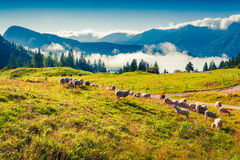 Moutons sur le pâturage alpin dans le jour d'été ensoleillé Image stock