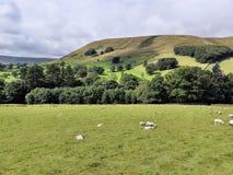 Moutons sur les champs verts Photo libre de droits