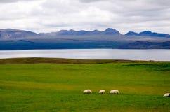 Moutons sur les collines de l'Islande Photos libres de droits