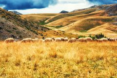 Moutons sur les plaines du parc national de Mavrovo, Macédoine Photo stock