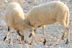 Moutons sur les roches Photos stock