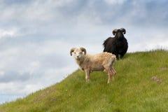 Moutons sur Mykines photos libres de droits