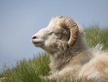 Moutons sur Mykines, les Iles Féroé Image libre de droits