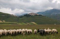 Moutons sur Pian grand en Castelluccio di Norcia, Ombrie, Italie Images stock