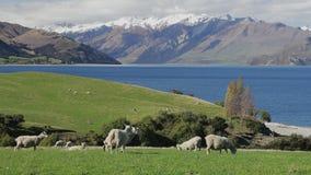 Moutons sur un champ près de lac Hawea avec des montagnes à l'arrière-plan, Nouvelle-Zélande clips vidéos