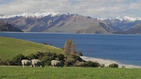 Moutons sur un champ près de lac Hawea avec des montagnes à l'arrière-plan, Nouvelle-Zélande banque de vidéos