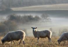 Moutons sur un flanc de coteau photos libres de droits