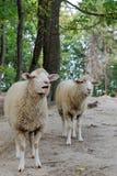 Moutons sur un fond de la forêt photos stock